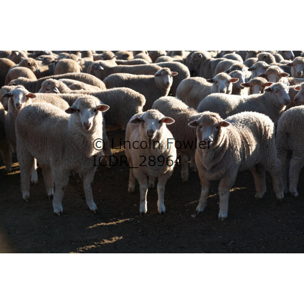 Sheep at the Sale Yards