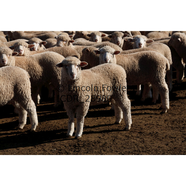 Sheep at the Stock yards