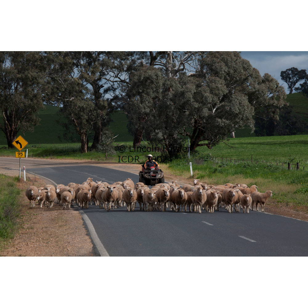Sheep Droving