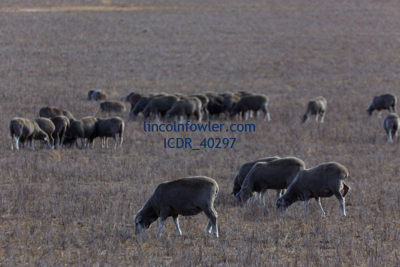 Sheep grazing on open pasture fields South Australia