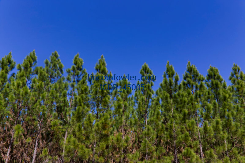 Pinus Radiata Plantation Timber