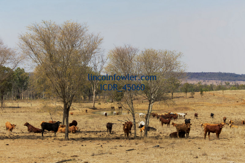 Cattle grazing in drought conditions Queensland