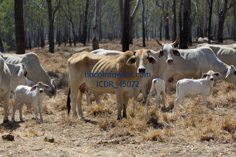 Zebu Cattle Queensland Australia