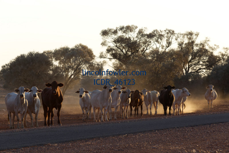 Cattle on the highway Bulloo Shire Queensland Australia