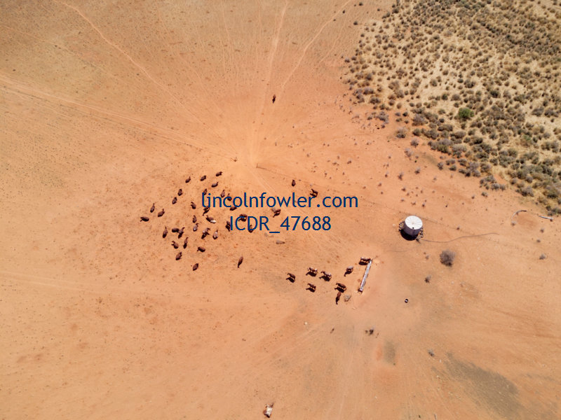 Cattle at a water tank Australia